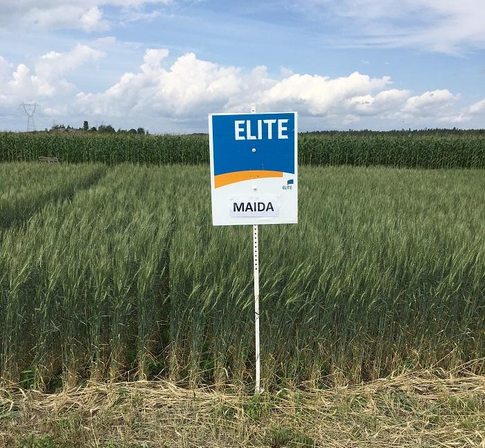 Les blés Minot et Maida arrivent!