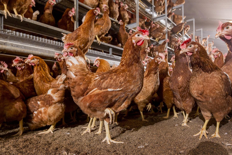 500 œufs pondus par poule!